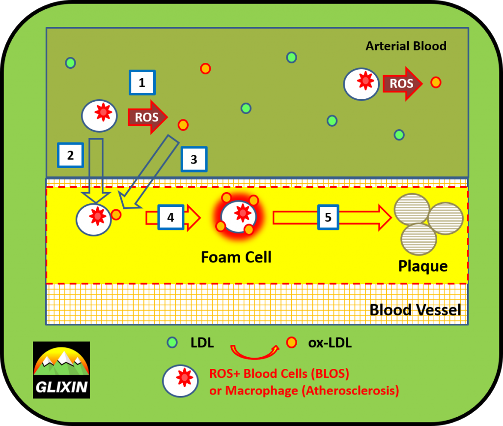BLOS promotes atherosclerosis leading to plaque formation.