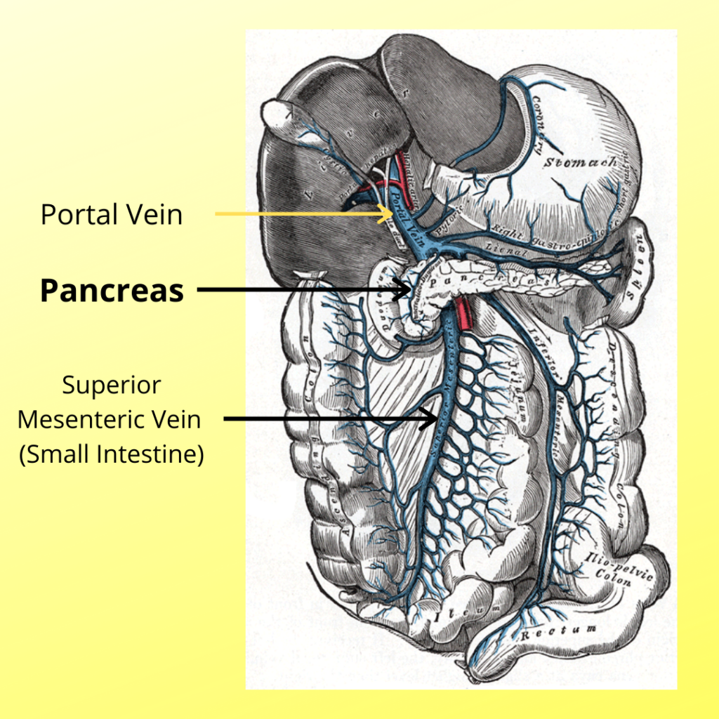Oxidative Stress from Small Intestines Impacts Pancreas and Liver